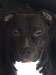 Black , chien American Staffordshire Terrier
