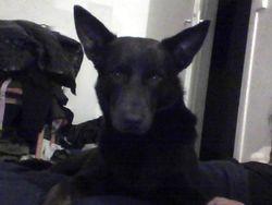 Black, chien Kelpie