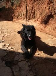 Black, chien Berger de Russie