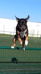Black, chien Rottweiler