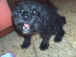 Black, chien Caniche