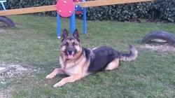 Black, chien Berger allemand