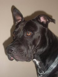 Black, chien American Staffordshire Terrier