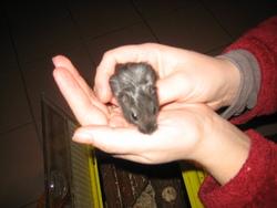 Black, rongeur Gerbille