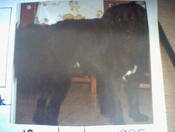 Black, chien