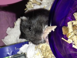 Poupoune, rongeur Hamster