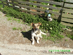 Black, chien Jack Russell Terrier