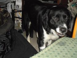 Black, chien Border Collie