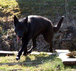Black, chien Berger belge
