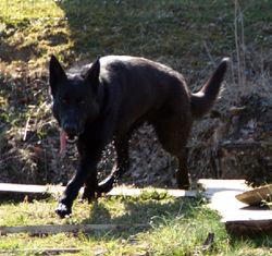 Black, chien Berger belge