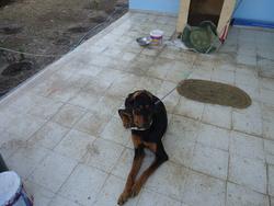 Black, chien Dobermann