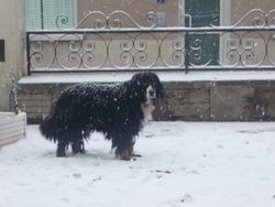 Black, chien Bouvier bernois