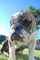 Black-Betty-White-Page, chien Bulldog