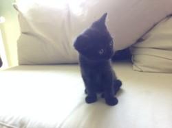 Black Cat, chaton