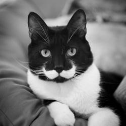Black White, chat Norvégien