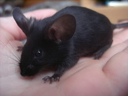 Blackette, rongeur Souris