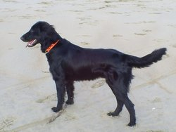 Blacki, chien Flat-Coated Retriever