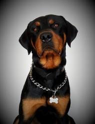 Blacko, chien Rottweiler
