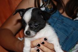 Blackwhite, chien Chihuahua