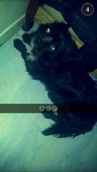 Blacky, chien Bouledogue français