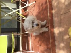 Blacky, chien Bichon maltais