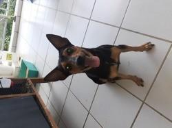 Blacky, chien Pinscher