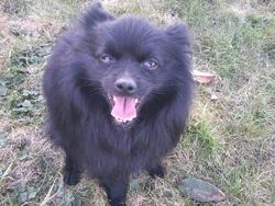 Blacky, chien Spitz allemand