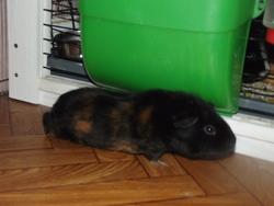 Blacky, rongeur Cochon d'Inde