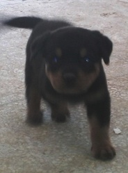 Blacky, chien Rottweiler