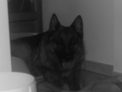 Blacky, chien Berger allemand
