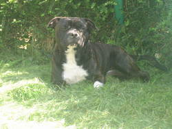 Blacky, chien Staffordshire Bull Terrier