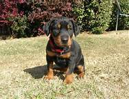 Blacky, chien Dobermann
