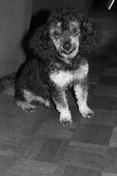 Blacky, chien Caniche
