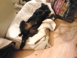 Blacky, chien Griffon à poil dur Korthals
