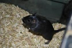 Blacky, rongeur Gerbille