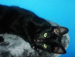 Blacky Pépito, chat Européen