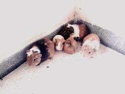 Blad Et Foxy Et Lola Et Mixi, rongeur Cochon d'Inde