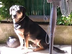 Blade, chien Beauceron