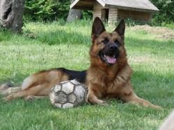 Blade, chien Berger allemand