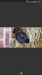 Blakie, rongeur Cochon d'Inde