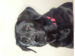 Blaky, chien Labrador Retriever