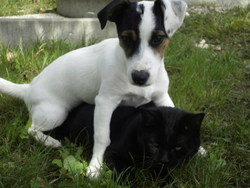 Blaky, chien Jack Russell Terrier