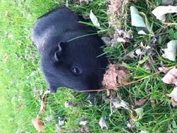 Blaky, rongeur Cochon d'Inde