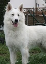 Blanc, chien Berger blanc suisse