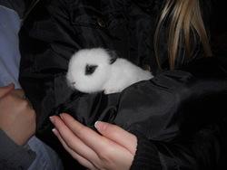 Blanca, rongeur Lapin