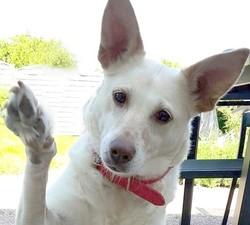 Blanca, chien Berger belge