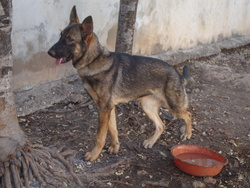 Blanca, chien Berger allemand