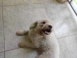 Blanca, chien Bichon à poil frisé