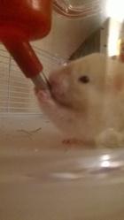 Blanca , rongeur Hamster
