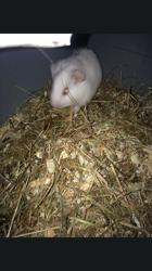 Blanche, rongeur Cochon d'Inde